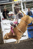 Bull rider hangs on. Stock Images