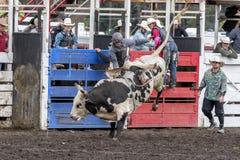 Bull rider in north Idaho. Royalty Free Stock Image