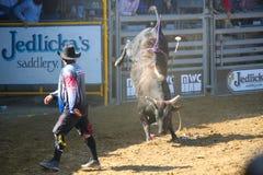 Bull Riding & Clown. Clown distracting bull at rodeo, Santa Barbara, CA Old Spanish Days Fiesta August 2013 Stock Images