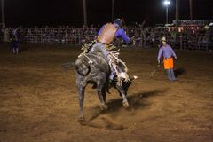 Bull riding cowboy. Cowboy riding a bucking bull Stock Images