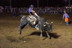 Bull riding cowboy. Cowboy riding a bucking bull Stock Image