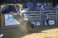 Bull Riding. Even August 2013 Santa Barbara Rodeo Stock Image