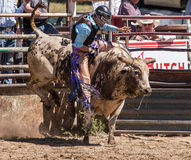 Bull Riding Man Stock Images