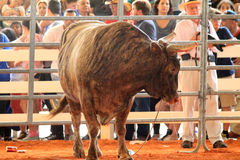 Bull at the rodeo Stock Images