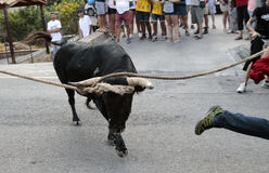 Bull run celebration in Mallorca, Spain. People runs during Run bull celebration in a village near Soller in the Spanish island of Mallorca Royalty Free Stock Photo