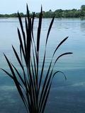 Bull Rushes Royalty Free Stock Photography