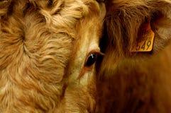 Bull's eye. Detail of a bull eye Royalty Free Stock Images