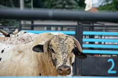A bull's eye. An angry bull gives the photographer the eye Stock Photo