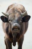 Bull's head close-up Stock Photo