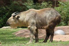 Bull in the Saint Louis Zoo. This is a photo of a bull taken at the Saint Louis Zoo in Missouri while I was on vacation May 2016 Stock Images