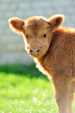 Bull, scottish highland cattle. Little bull, scottish highland cattle Royalty Free Stock Photos