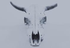 Bull scull Στοκ Εικόνες