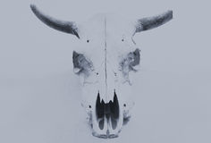 Bull scull Stock Images