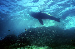 Bull Sea Lion. Near surface in the Sea of Cortez Stock Photos