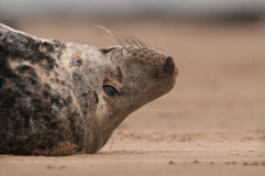 Bull Seal. A close up of a large grey seal bull lying on his back Stock Photos