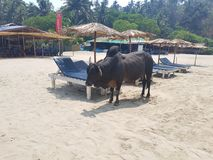 Bull on the beach. The bull searches where to hide from the sun in a frying day Stock Photo