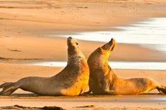 Bull-Seeelefant-Kämpfen Stockbilder