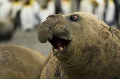 Bull-Seeelefant-Säen weg von der großen Wekzeugspritze Lizenzfreie Stockbilder