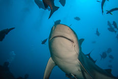 Bull shark against deep blue water background underwater closeup shot. A shark underwater sorrounded by fish in blue ocean water background. Sharkdiving photo Stock Images