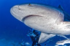 Bull shark in the blue ocean background in mexico royalty free stock photo