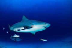 Bull shark in the blue ocean background Stock Photo