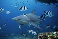 Bull shark, carcharhinus leucas, Beqa lagoon, Fiji. Shark, bull, sea, ocean royalty free stock image