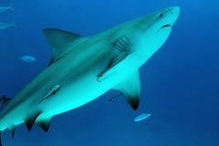 Bull Shark. (Carcharhinus Leucas), Playa del Carmen, Mexico Stock Images