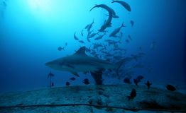 Bull Shark stock photos