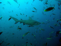 Bull shark and fish Stock Images