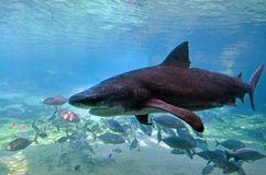 Bull shark. GOLD COAST, AUS - NOV 06 2014:Bull shark in Sea World Gold Coast Australia.It's known for its aggressive nature, predilection for warm shallow water royalty free stock photo