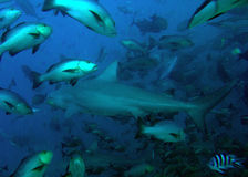 Bull shark and tropical fish Stock Image