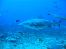 Bull shark underwater. Massive bull shark, after feeding underwater, in Beqa Lagoon, Fiji stock images