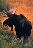 Bull Shiras Moose Royalty Free Stock Photography