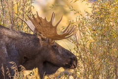 Bull Shiras Moose in Autumn Royalty Free Stock Photos