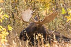 Bull Shiras Moose Bedded Stock Photos