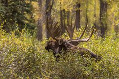 Bull Moose Bedded in Fall Royalty Free Stock Photography