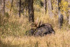 Bull Moose Bedded Royalty Free Stock Photography