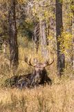 Bull Shiras Moose Bedded in Fall Stock Image