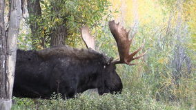 Bull Shiras Moose Close Up stock video footage