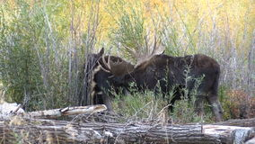 Bull Shiras Moose with a Cow in Fall Rut stock video