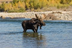 Bull Moose in River Royalty Free Stock Images
