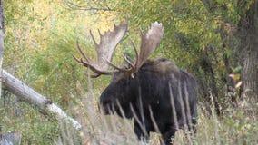 Bull Shiras Moose in Fall stock video