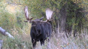Bull Shiras Moose in Fall stock video footage