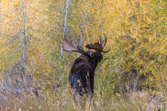 Bull Shiras Moose in the Fall Stock Image
