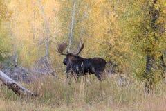 Bull Shiras Moose in Fall Royalty Free Stock Photo