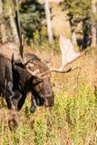 Bull Shiras Moose Stock Image