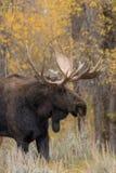 Bull Shiras Moose  in Fall Stock Image