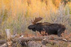 Bull Shiras Moose Royalty Free Stock Photos