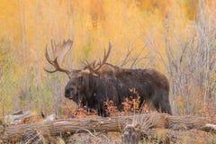 Bull Shiras Moose in Fall Rut. A bull Shiras moose during the fall rut in Wyoming Stock Image