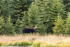 Big Bull Moose in Autumn Stock Photography